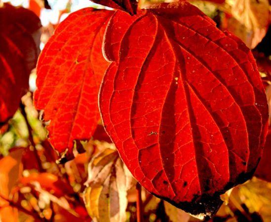 731px-XN_Autumn_leaves_351
